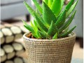 4 комнатных растения, которые лечат болезни