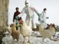 В борьбе с распространением птичьего гриппа в Мексике уничтожили более 2-х млн кур
