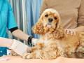 Что делать, если собака подвернула лапу