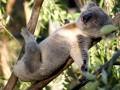 Непрошеный гость: в Австралии коала