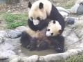 Водные процедуры: малыш-панда пытается избежать купания